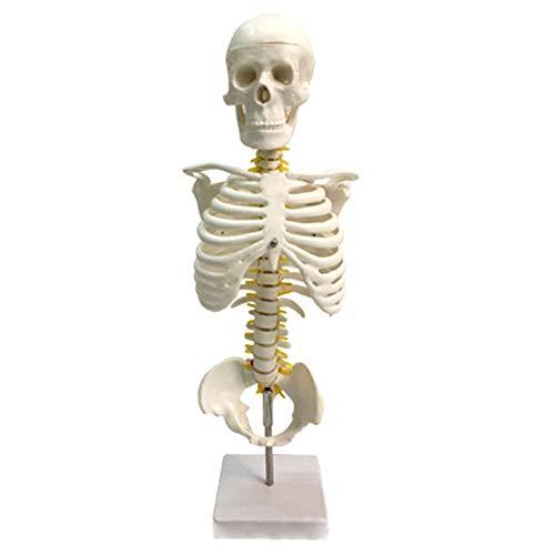 Wirbelsäulenmodell Wirbelkörper Halswirbel Brustwirbelsäulenstruktur Anatomie Des Menschen Medizinisches Lehrmodell Anatomisches Modell Bandscheibengelenk 45CM,1