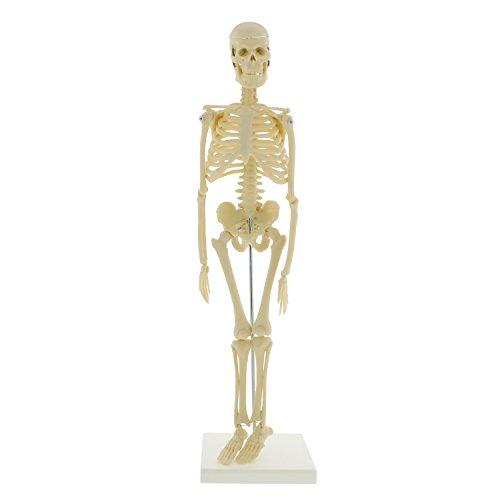 MonMed Mini Skeleton - Human Skeleton Model for Anatomy Anatomical Skeleton Human Skeleton Anatomy Skeleton Model 17in