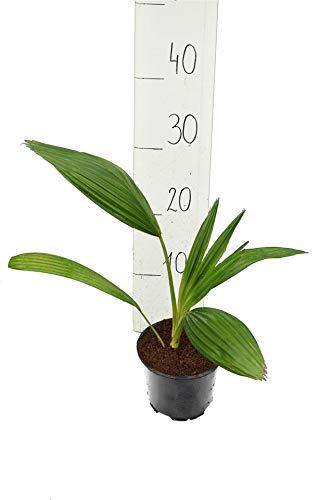 Palme- Carnavon Palme- Livistona nitida - 40-50cm Topf Ø 13cm