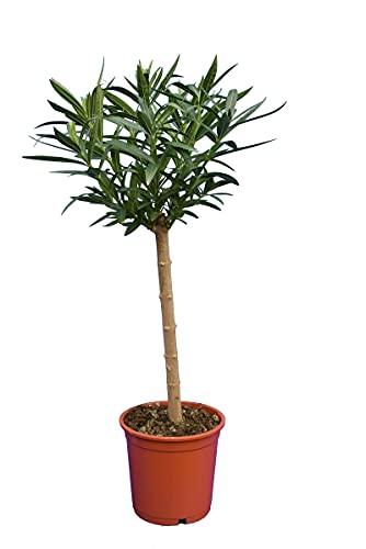 Weißer Oleander - Nerium oleander - Gesamthöhe 80-100 cm - Stamm 40-50 cm - Topf Ø 22 cm