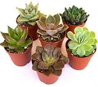 succulents live plants combo pack of 6 each pot is 2-3 inches plant size will be medium