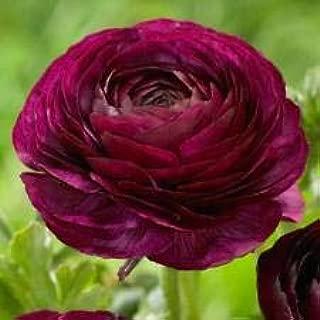 50 Ranunculus Purple Shades Bulbs