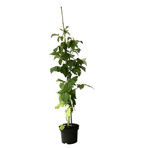 Müllers Grüner Garten Shop Himbeere Glen Ample sommertragend dornenlos großfruchtig lecker ab 60 cm Pflanze im 3 Liter Topf