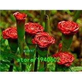 Rare Red Carnation Red Up Lampe Bulb 'Graines vivace Fleur, Paquet professionnel, 50 graines / Pack, Bonsai Fragrant Flower