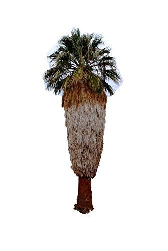 Washington Palme (Washingtonia filifera) 1000 frische Samen (Winterharte Palme)