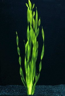 Große Wasserschraube/Vallisneria Americana - asiatica im Topf