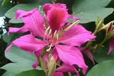 Bauhinia purpurea | Arbre Orchidée papillon | Chameaux pied | 10_Seeds