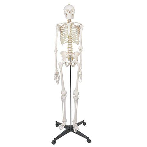 "ZENY Life Size 70.8"" Human Skeleton Model Medical Anatomical with Rolling Stand, Removable and Movable Parts (6FT)"