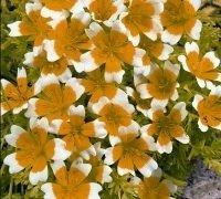 JustSeed Douglas-Sumpfblume/Spiegelei-Blume/Limnanthes douglasii, Blume, 250Samen
