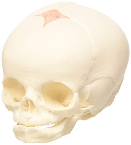 3B Scientific A25 Modelo Anatómico Humano - Cráneo de Feto, 30 semana de embarazo + Software de Anatomía - 3B Smart Anatomy