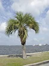 (5 Gallon) Pindo Palm (Jelly Palm) - Beautiful Feather Palm Tree, Leaves Ranging from Light Green to Bluish Gray and Growing to 10 Feet Tall. More Cold Hardy Than Most Palms.
