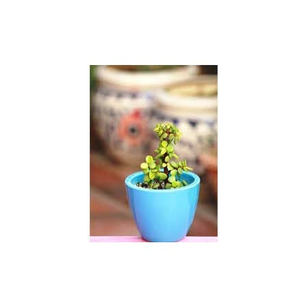 The Store Hub Lucky Jade/Good Luck Feng Shui Live Plant