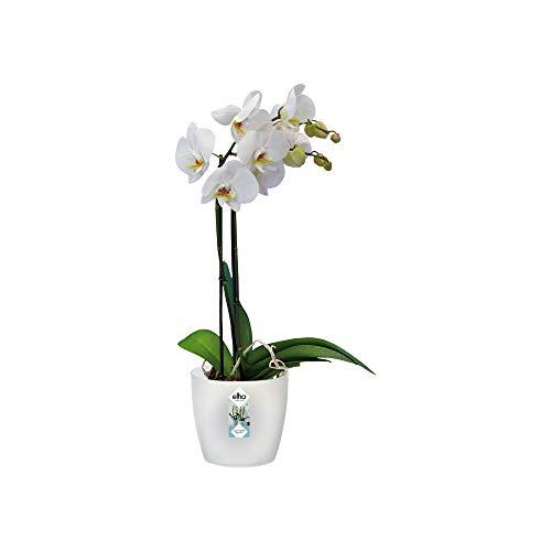 Elho Brussels Orchidee 16 - Blumentopf - Transparent - Drinnen - Ø 15.9 x H 14.6 cm