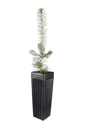 FERRY Bio-Saatgut Nicht nur Pflanzen: sAgainted Fraser-Tanne - Abies fraseri - 100 Samen 100 Samen es 14
