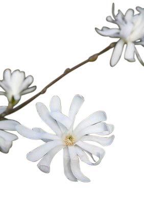 Plante de jardin - Magnolia Stellata - Tulipier étoilé - Grandes plantes, hauteur 75 cm