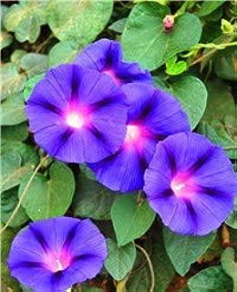 Green Seeds Co. 100pcs / bag multicolor mañana gloria planta, bonsai flor escalada jardín botánico, jardín plantas flor balcón: 1: Amazon.es: Jardín