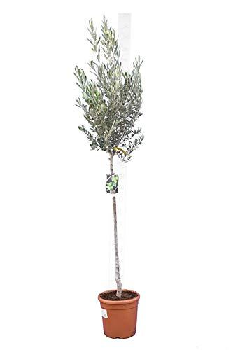 Olea europaea - echter Olivenbaum Wild Form -Größe 190+cm - Stamm 90-100cm - Topf Ø 29cm - Stammumfang 8 cm