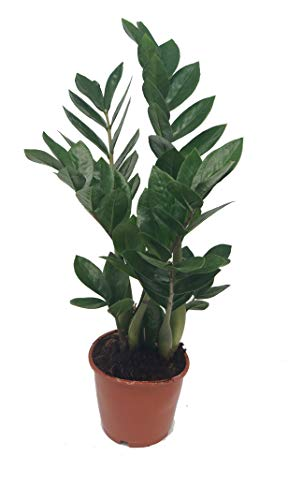 Glücksfeder, (Zamioculcas zamiifolia), Zamie, Zamia Farn, Zamia Palme, pflegeleichte Zimmerpflanze (ca. 50cm hoch im 14cm Topf)