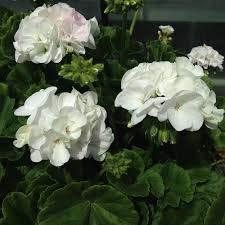 5 PCS géant Géranium Seeds White Rose Pelargonium vivace Fleur Graine Hardy Plante Bonsai Plante en pot Livraison gratuite