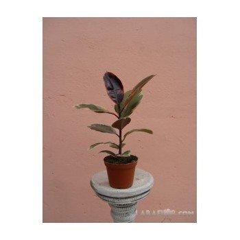 Ficus robusta 1 tronco