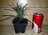 Black Mondo Grass Plant Ophiopogon P. 'Nigrescens'