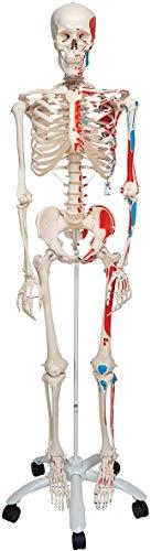 3B Scientific Menschliche Anatomie Skelett Max - mit Muskeldarstellung und Nummerierung - Lebensgroß, inkl. kostenloser Anatomiesoftware - A11 als Lernmodell oder Lehrmittel - 3B Smart Anatomy