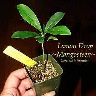 Cutdek ~Lemon Drop Mangosteen~ Garcinia Intermedia Yellow Fruit Pot Starter Small Plant