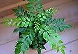 Elwyn 80pcs Curry Leaf Vegetable Seeds