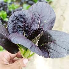 20 pcs / Sac Rare F1 légumes d'or pourpre Graines de colza, Original Package Novel plante pousse rapide Semences Potagères