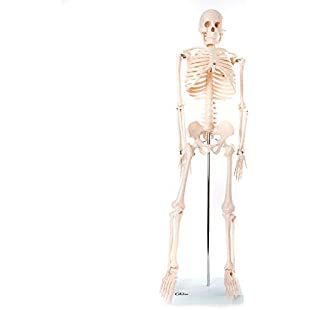 66fit Anatomical Skeleton Model - 85cm - Medical Educational Training Aid