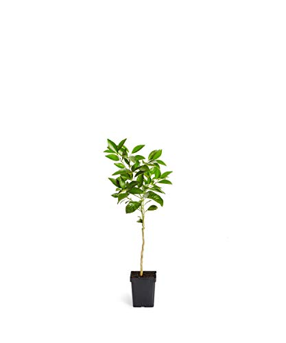 Blood Orange Trees - Large Citrus Trees Available - NO Shipping to CA, FL, TX, LA, AZ (1-2 ft.)