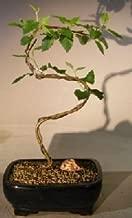 Bonsai Boy's Paper Birch Bonsai Tree Curved S Shape Trunk betula papyrifera