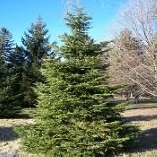 50 Silver Fir Tree Seeds, Abies Alba
