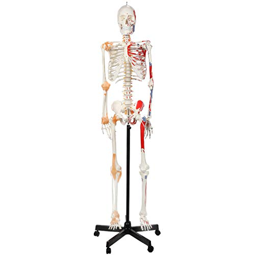 Axis Scientific Painted and Numbered Flexible Life Size Skeleton Model | Skeleton has Flexible Spine, Muscle Insertion and Origin Points | Includes Base, Dust Cover, Product Manual | 3 Year Warranty