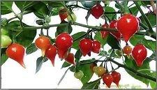 "Chupetinha Pepper (20 Samen) Biquinho Ardida (ardida bedeutet""hot) Brazilian Heirloom"