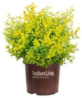 (3 Gallon) Ligustrum Sunshine- Gorgeous year-round golden foliage