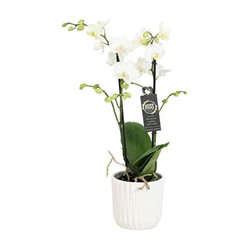 Orchidee – Schmetterlingsorchidee in weißem geriffelten Keramiktopf als Set – Höhe: 45 cm, 2 Triebe, weiße Blüten