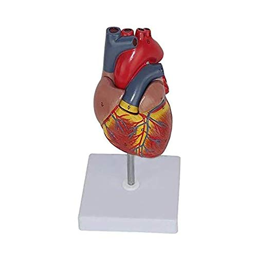 TJLJFTILTIR Das menschliche Herz anatomisches Modell, Herzmodell, medizinische Kardiologie Lehrmittel