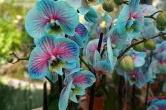 Yukio Samenhaus - 100 Stück Raritäten Japan Freiland Garten-Orchideen Blühfreudig Exotik Samen Cymbidium Phalaenopsis Bonsai-Blumensamen 2-jährig winterhart