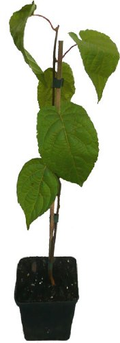 3 x Sibirische Minikiwi Pflanzen SET Senty weiblich und Adam männlich Actinidia kolomikta Kiwi Kiwai