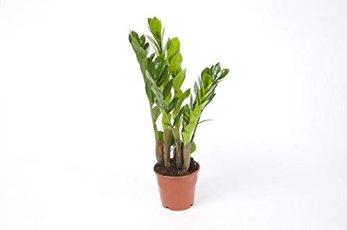 Zamioculcas Zamiifolia Zanzibar 40 cm 3+ Blätter Glücksfeder Zimmerpflanze