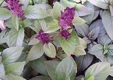 basilic thaï, (1000 graines fines herbes) basilic pourpre AKA thaï, basilic asiatique, Herb biologique