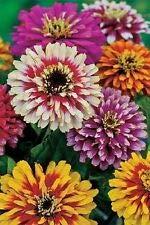 Zinnia Elegans Whirlygig Mix, ca. 360 Samen, 3 g, einjährig