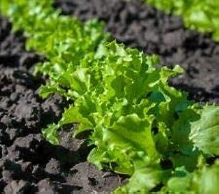 Great Lakes Batavian Leaf Lettuce Seeds, 1000 Heirloom Seeds Per Packet, Non GMO Seeds