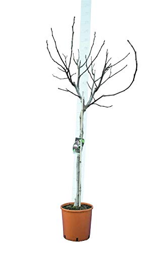 Ficus carica Brown Turkey - Feigenbaum - essbare Früchte - Gesamthöhe 160-180 cm - Topf Ø 30cm - Speditionsversand