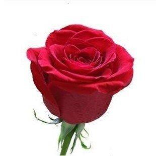 100 Pcs Seeds Red Rose Flower Seeds Rare Holland Rainbow Rose Flower Lover Plants Home Garden Rare Rainbow