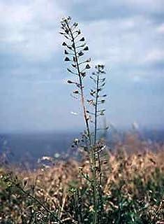 Richters Roman Chamomile Seeds