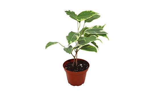 "Ficus Benjamina Variegated- 2"" from California Tropicals"
