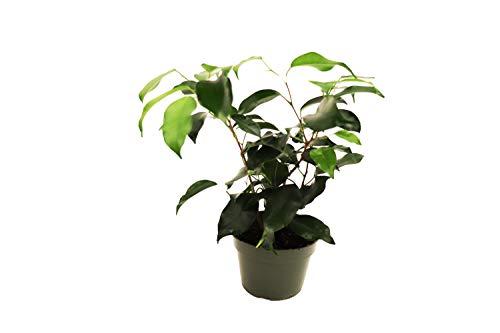 Ficus Benjamina Weeping Fig - 4