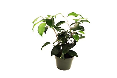 Ficus Benjamina Weeping Fig - 4'' from California Tropicals